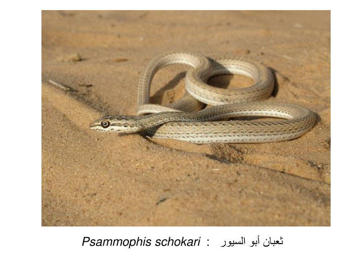 ثعبان أبو السيور   :