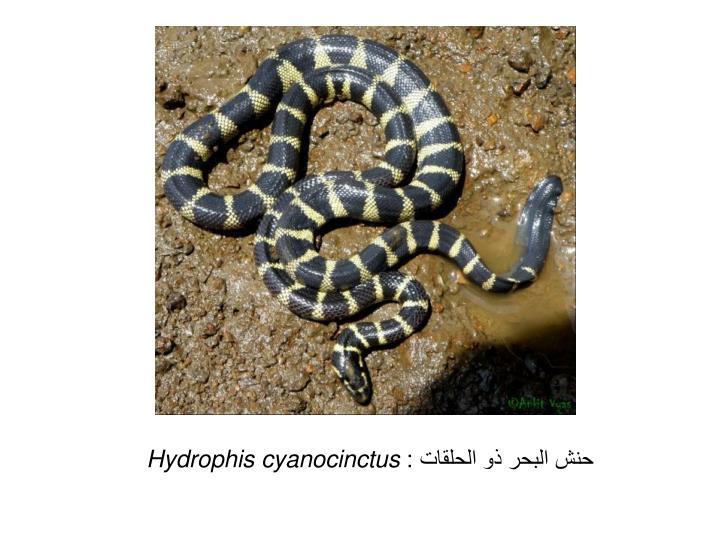 حنش البحر ذو الحلقات :