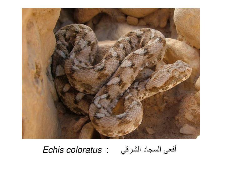 أفعى السجاد الشرقي     :