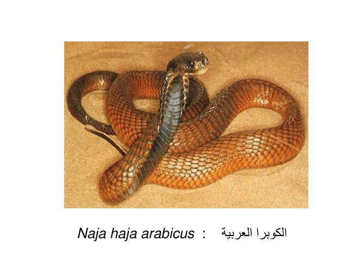 الكوبرا العربية    :