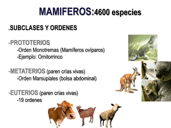 PPT - Anatomía comparada de la Glándula Mamaria de las principales ...