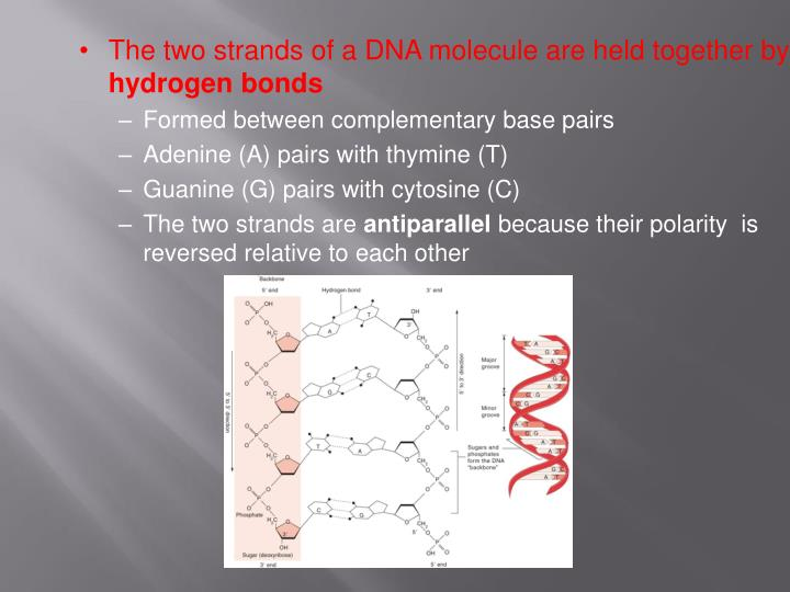 The two strands of a DNA molecule are held together by