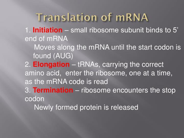 Translation of mRNA