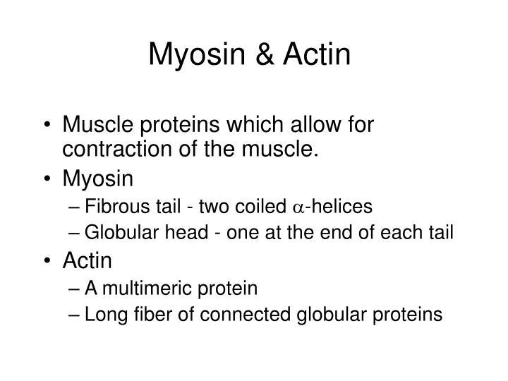 Myosin & Actin
