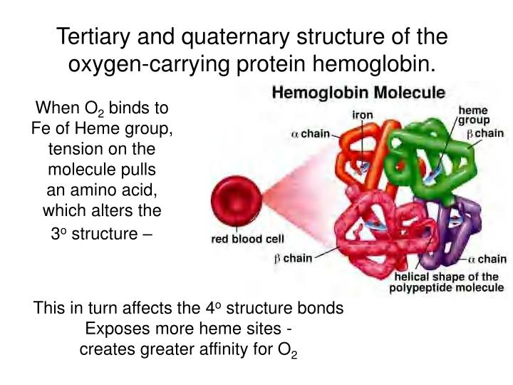 Tertiary and quaternary structure of the oxygen-carrying protein hemoglobin.