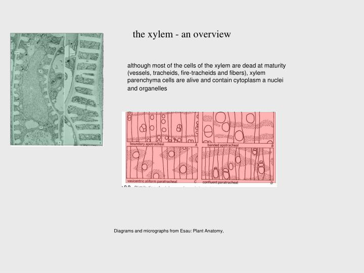 Fancy Esau Plant Anatomy Images Anatomy And Physiology Biology