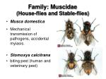 family muscidae house flies and stable flies