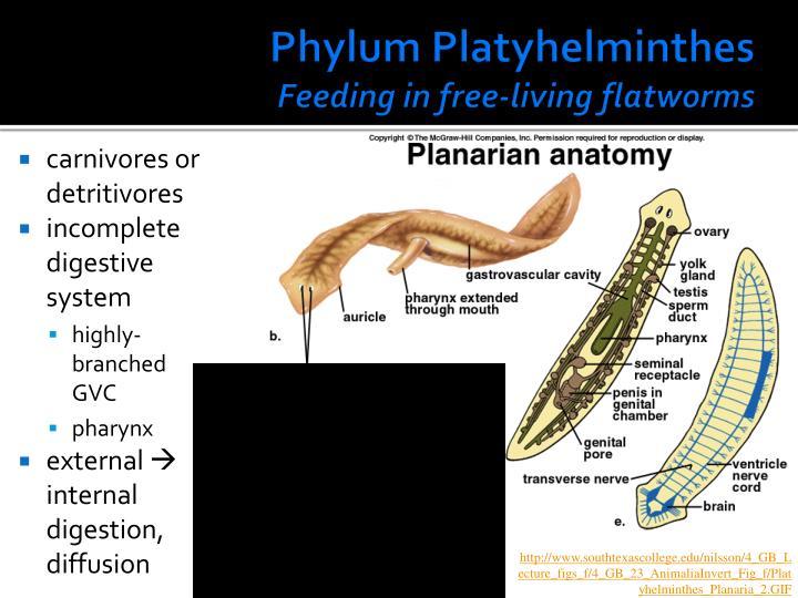 A Flatworms Diet PPT - Parazoa no true ...
