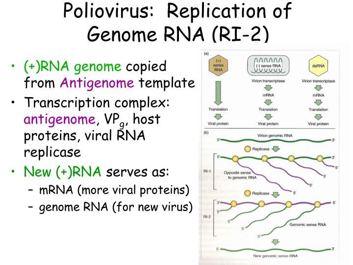 polio virus essay Poliovirus is from the subgroup enterovirus and the family picornaviradae it is a virus that causes poliomyelitis, which is better known as polio.