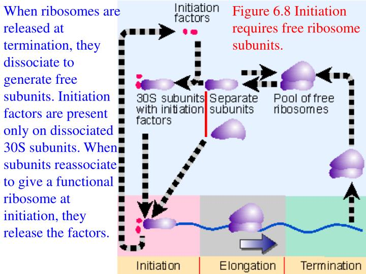When ribosomes are released at termination, they dissociate to generate free subunits. Initiation factors are present only on dissociated 30S subunits. When subunits reassociate to give a functional ribosome at initiation, they release the factors.