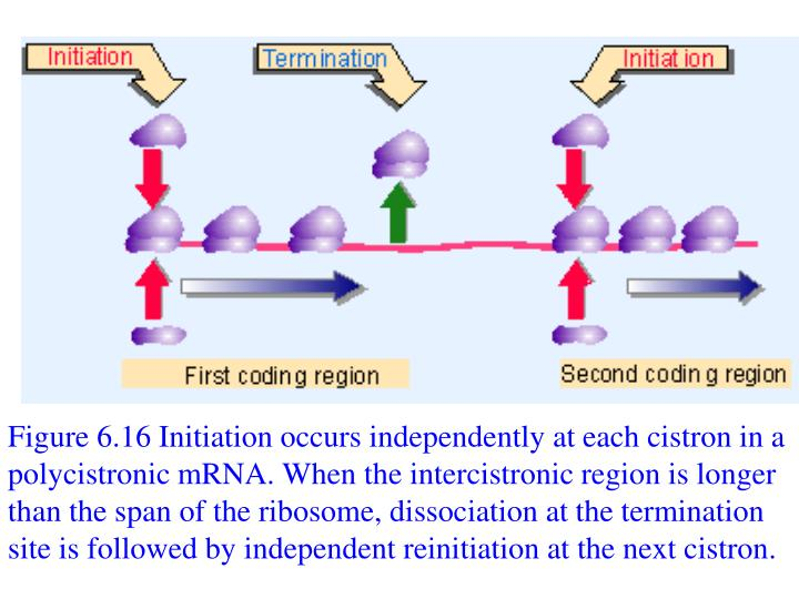 Figure 6.16 Initiation occurs independently at each cistron in a polycistronic mRNA. When the intercistronic region is longer than the span of the ribosome, dissociation at the termination site is followed by independent reinitiation at the next cistron.