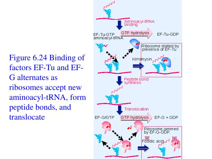 Figure 6.24 Binding of factors EF-Tu and EF-G alternates as ribosomes accept new aminoacyl-tRNA, form peptide bonds, and translocate