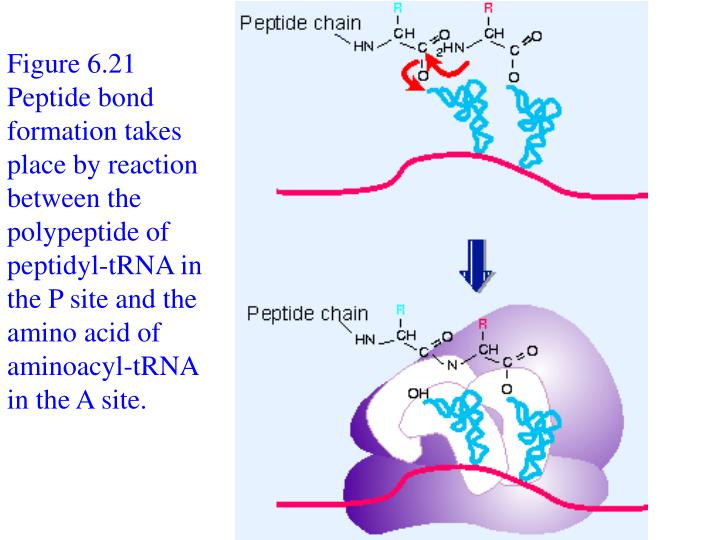 Figure 6.21 Peptide bond formation takes place by reaction between the polypeptide of peptidyl-tRNA in the P site and the amino acid of aminoacyl-tRNA in the A site.
