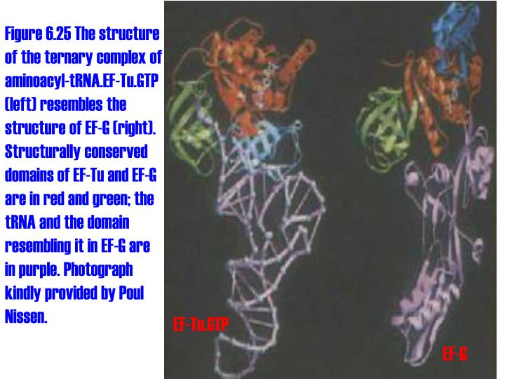 Figure 6.25 The structure of the ternary complex of aminoacyl-tRNA.EF-Tu.GTP (left) resembles the structure of EF-G (right). Structurally conserved domains of EF-Tu and EF-G are in red and green; the tRNA and the domain resembling it in EF-G are in purple. Photograph kindly provided by Poul Nissen.