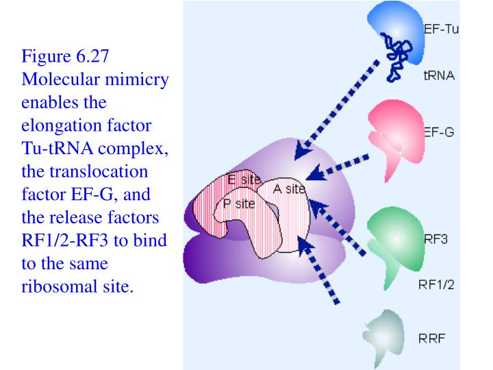 Figure 6.27 Molecular mimicry enables the elongation factor Tu-tRNA complex, the translocation factor EF-G, and the release factors RF1/2-RF3 to bind to the same ribosomal site.