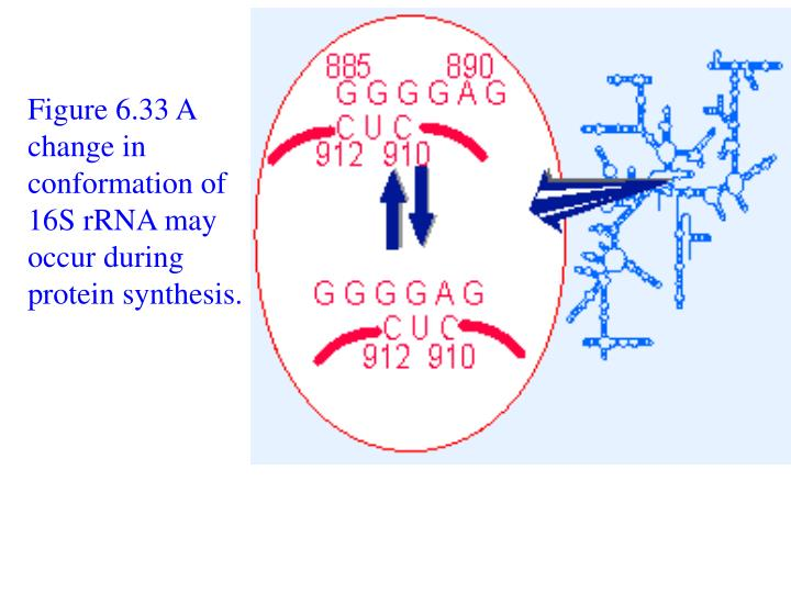 Figure 6.33 A change in conformation of 16S rRNA may occur during protein synthesis.