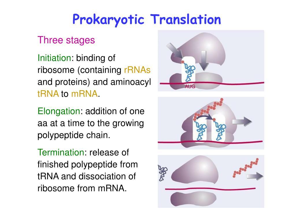 PPT - Prokaryotic Translation PowerPoint Presentation - ID
