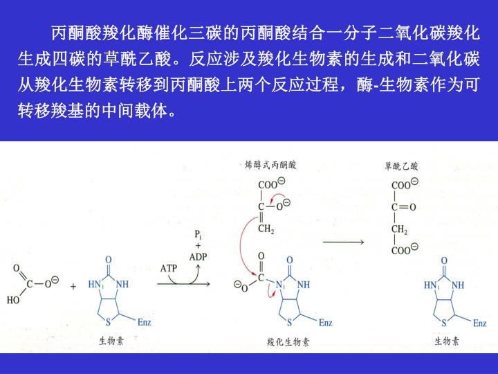 丙酮酸羧化酶催化三碳的丙酮酸结合一分子二氧化碳羧化生成四碳的草酰乙酸。反应涉及羧化生物素的生成和二氧化碳从羧化生物素转移到丙酮酸上两个反应过程,酶