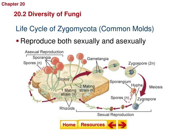 Tipe hifa zygomycota asexual reproduction