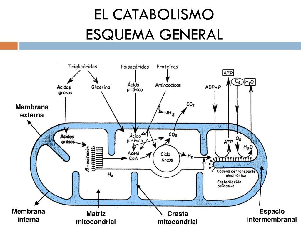 PPT - TEMA 8. El metabolismo (catabolismo) PowerPoint..
