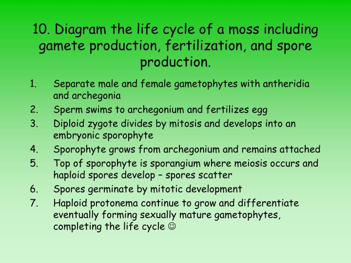 10. Diagram the life cycle of a moss including gamete production, fertilization, and spore production.