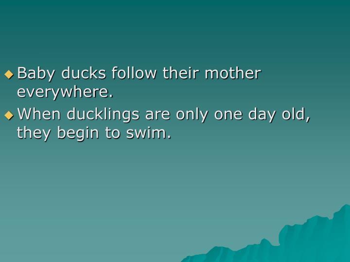 Baby ducks follow their mother everywhere.