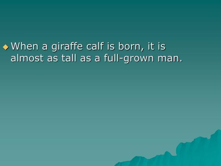 When a giraffe calf is born, it is almost as tall as a full-grown man.