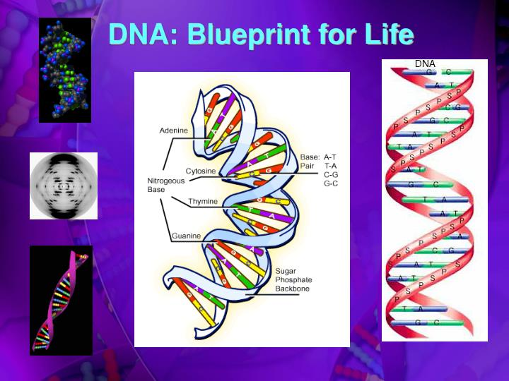 Ppt dna blueprint for life powerpoint presentation id4121653 dna blueprint for life malvernweather Choice Image