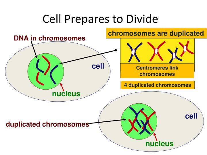 DNA in chromosomes