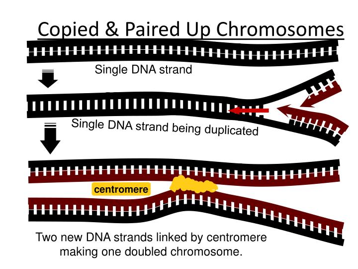 Copied & Paired Up Chromosomes