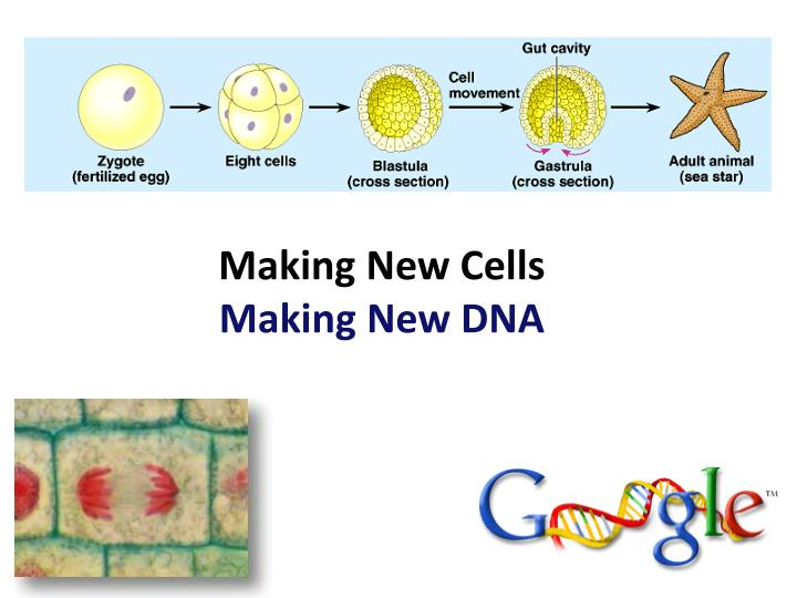 Making new cells making new dna