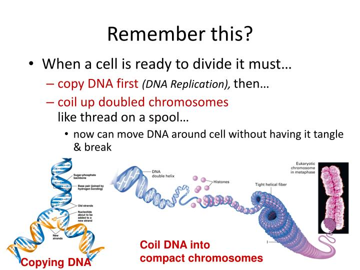 Coil DNA into