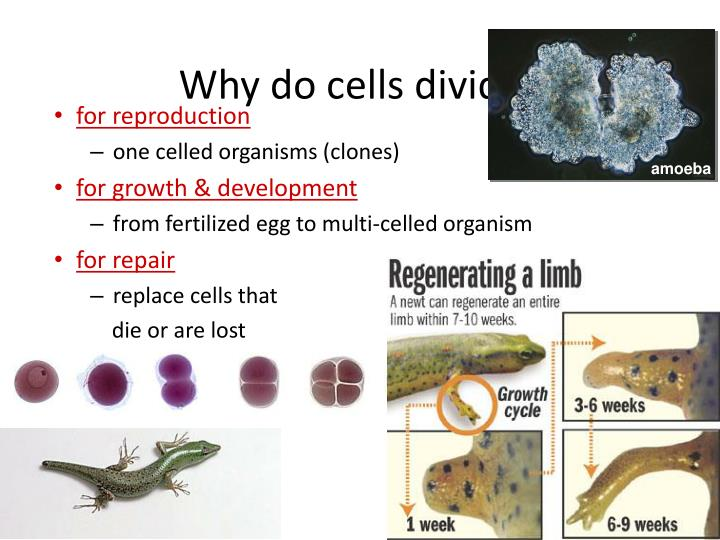 Why do cells divide…