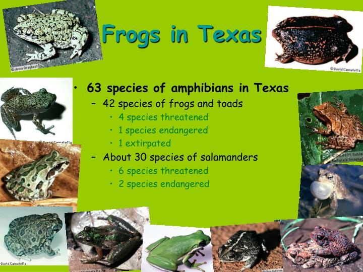 63 species of amphibians in Texas