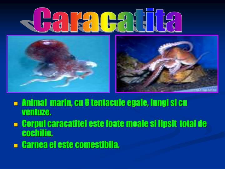 Caracatita