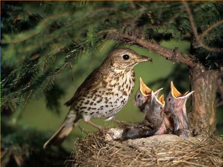 jeřáb obecný – ptačí, Sorbus aucuparia L., cv. Edulis Diech: