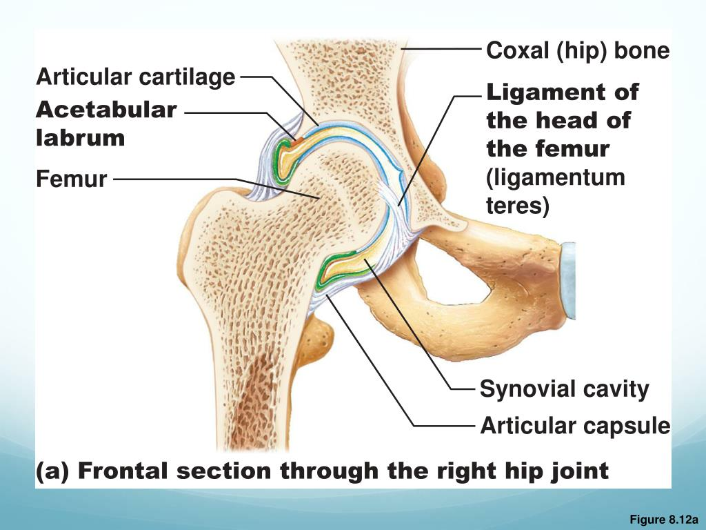 PPT - Classification of Synovial Joints PowerPoint