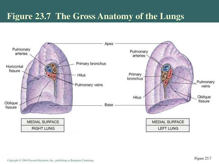 PPT - Respiratory System: Overview PowerPoint Presentation - ID:4135388