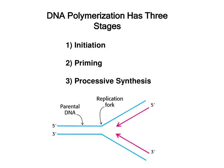 dna polymerization has three stages n.