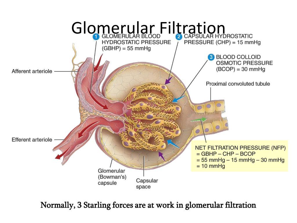 Ppt Glomerular Filtration Powerpoint Presentation Id4136850