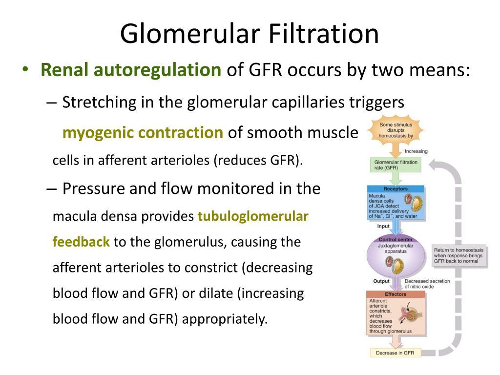 PPT - Glomerular Filtration PowerPoint Presentation - ID:4136850