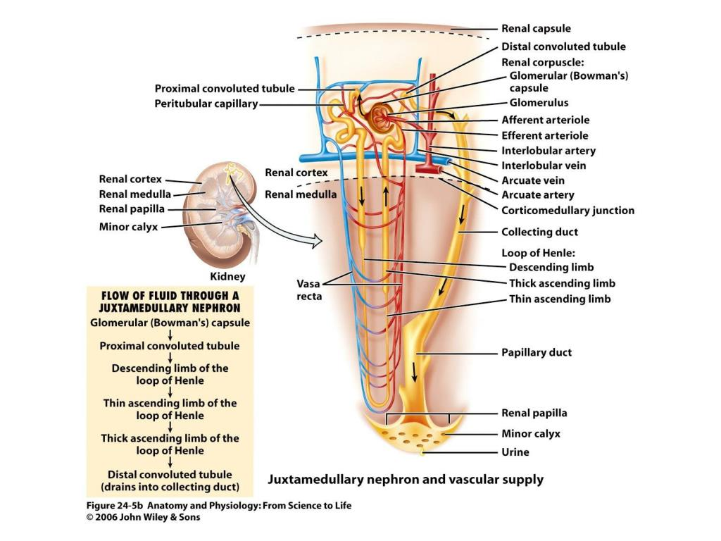 PPT - The Urinary System Chapter 24 – Lecture Notes