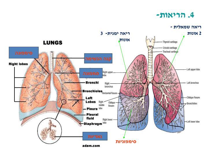 4. הריאות-