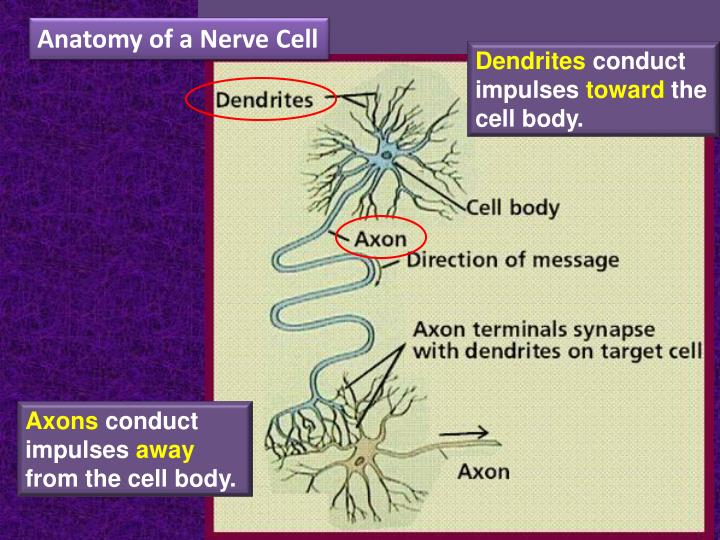 Anatomy of a Nerve Cell