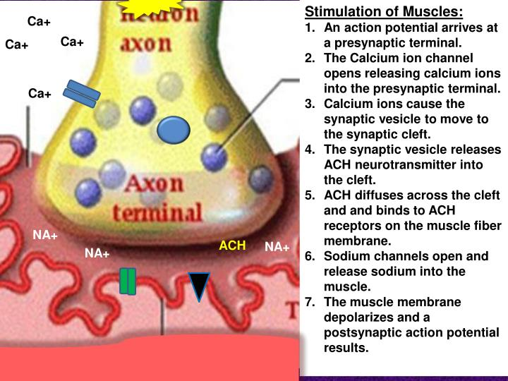 Stimulation of Muscles: