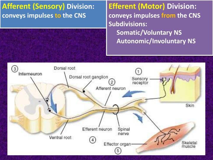 Afferent (Sensory)