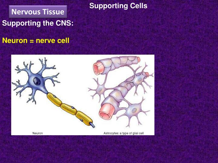 Supporting Cells