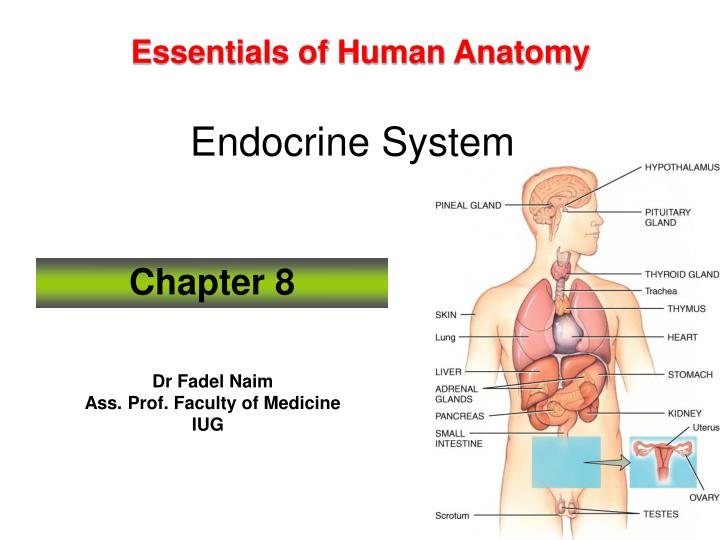 Ppt Essentials Of Human Anatomy Endocrine System Powerpoint