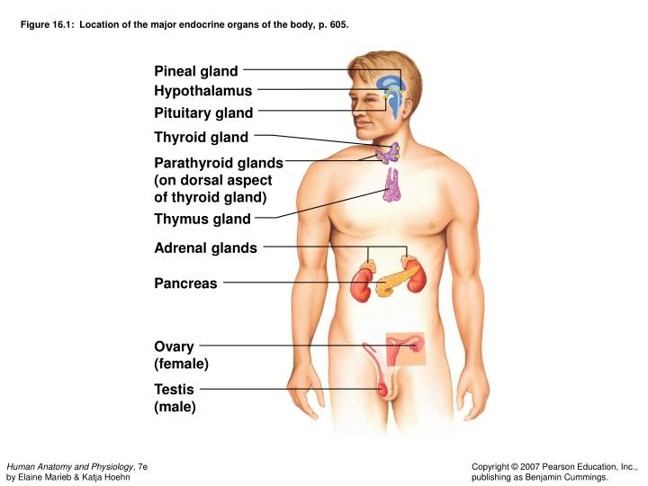 Ppt Chapter 16 The Endocrine System Powerpoint Presentation Id