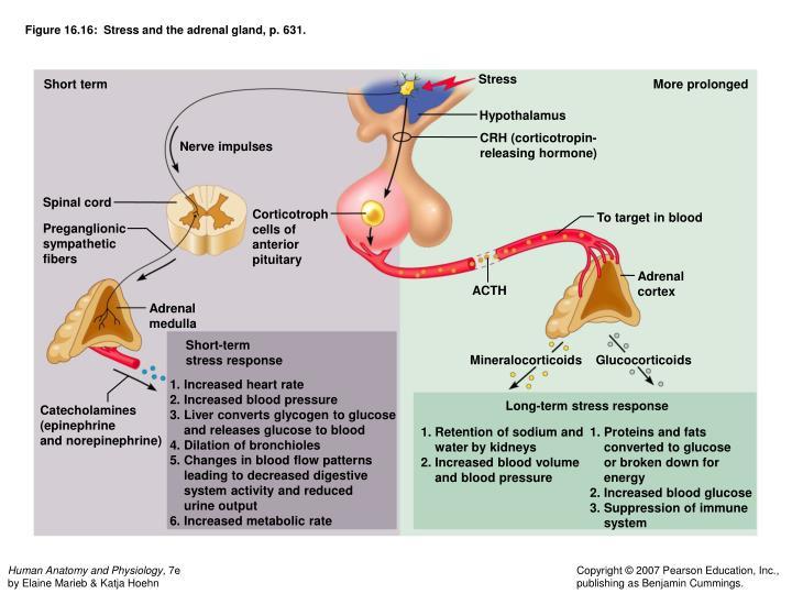 Human Anatomy Adrenal Gland Gallery Human Body Anatomy